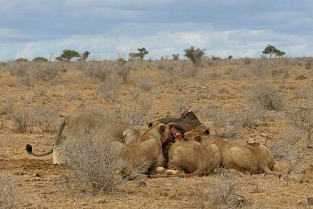 tsavo: Four lions feeding together on killed buffalo, landscape view of arid bushland in Tsavo National Park, Kenya Stock Photo