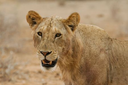 tsavo: Portrait of maneless lion of Tsavo National Park, Kenya