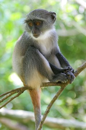 of Sykes monkey, Cercopithecus mitis albogularis 版權商用圖片