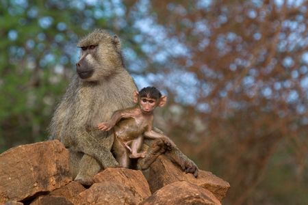 erect: Baboon mother and newborn  making first steps into the world Stock Photo
