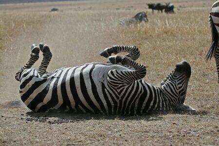 Plains zebra rolling in the dust Reklamní fotografie