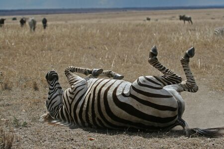 plains: Plains zebra dust bathing, Serengeti, Tanzania