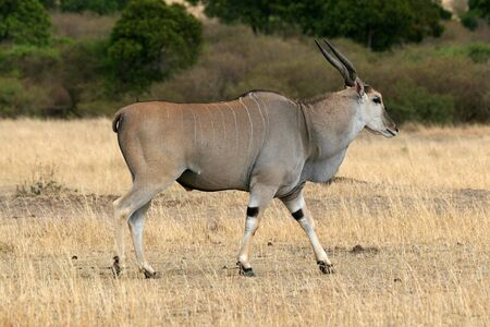 Elen-Antilopen Tragelaphus Oryx Standard-Bild - 5324216