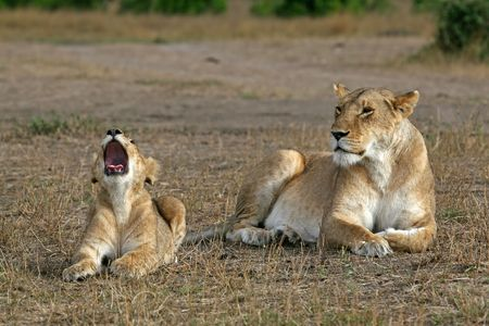Lioness and cub yawning