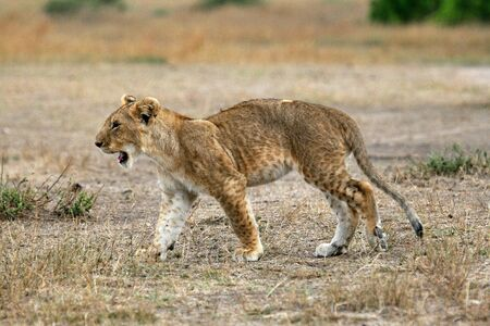 Lion cub with arched back