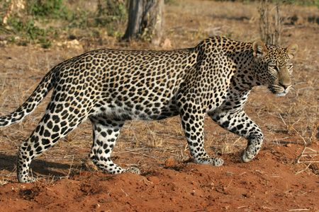 Wild leopard walking through open savanna photo