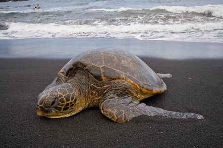 Single sea turtle on black sand beach on Big Island, Hawaii, with swimmers seen in background
