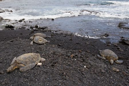 three green sea turtles resting during daytime on beach in hawaii photo