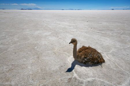 rhea: Rhea or Nandu resting on the salt flats of the Bolivian high desert near Uyuni