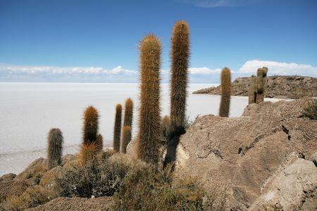 incahuasi: Desert vegetation on Incahuasi island in the middle of the Salar de Uyuni, Bolivia