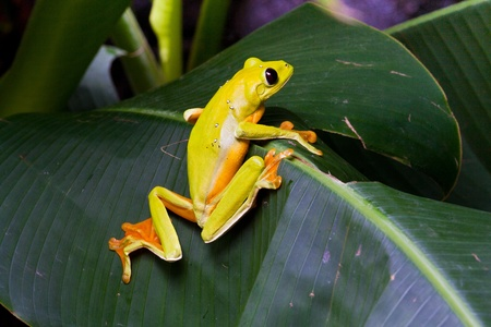 Gliding tree frog, Agalychnis spurrelli, perching on a leaf at La Paz Waterfall Gardens, Costa Rica