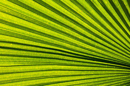 diverging: Green palm leaf with radial veins with radiant color viewed against bright sunlight