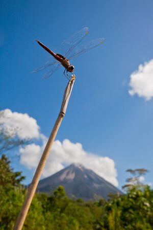 anisoptera: Dragonfly perching on twig against bright blue sky with Arenal Volcano in background, Costa Rica