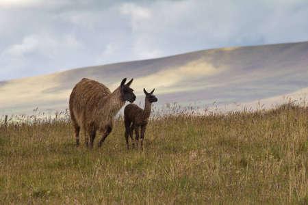 Llama mother and cria  baby llama  on Andean paramo, Ecuador