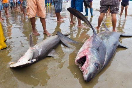 dead fish: Bigeye thresher shark and hammerhead shark landed on beach by fishermen in Puerto Lopez, Ecuador