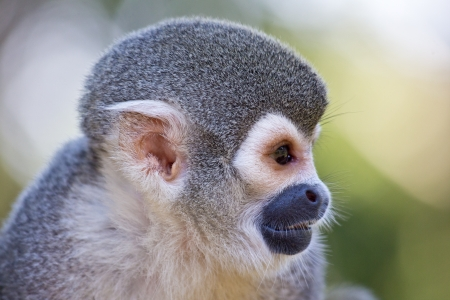 arboreal: Profile head view of a squirrel monkey, Saimiri sciureus