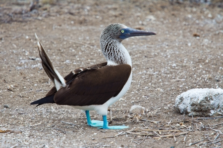 booby: Male blue-footed booby during courtship display, Ecuador Stock Photo