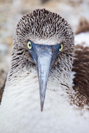 booby: Eye contact with a blue-footed booby, Galapagos Islands, Ecuador Stock Photo