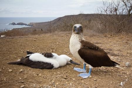 booby: Blue-footed booby standing next to chick, Isla de la Plata, Ecuador
