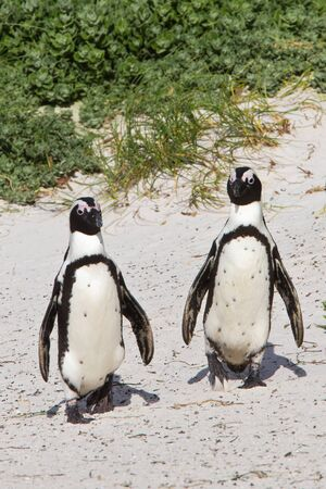 Pair of African penguins walking together on Boulders Beach, South Africa photo