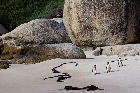jackass: Jackass penguins on Boulders Beach, South Africa Stock Photo