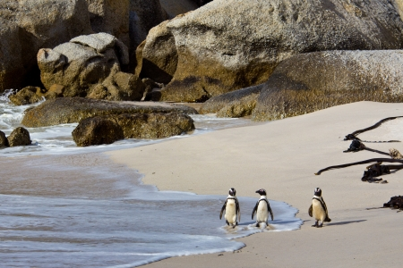 penguins on beach: African penguins on Boulders Beach, South Africa Stock Photo