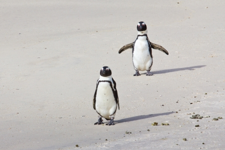 Two African penguins on a beach photo