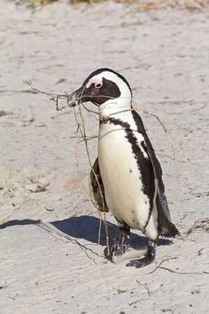 African penguin carries nest material on the beach, South Africa