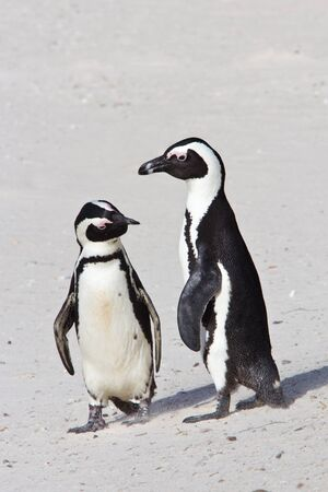Two African penuins standing on the beack, checking each other out photo