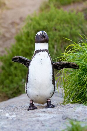 Jackass penguin walking among dunes, South Africa photo