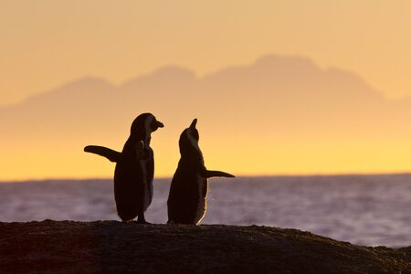 africa sunset: African penguin pair at sunrise near Cape Town, South Africa