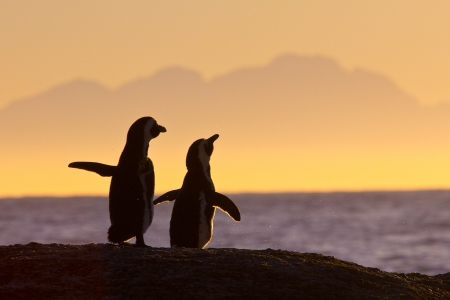 African penguin pair watching sunrise near Cape Town, South Africa photo