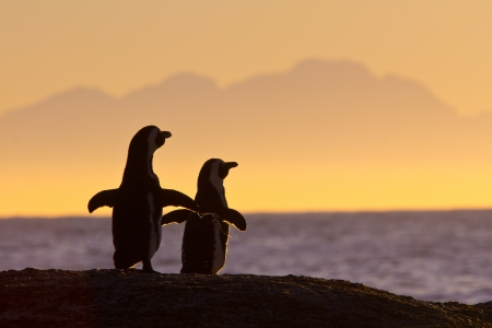 African penguin pair at sunrise near Cape Town, South Africa