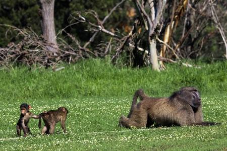 vaderlijk: Twee baby bavianen angstig naderen van een grote volwassen man baviaan, likeley hun vader