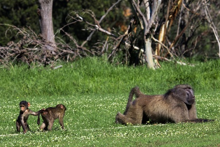 paternal: Two infant baboons anxiously approaching a big adult male baboon, likeley their father Stock Photo