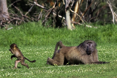 paternal: Infant baboon running away from a big adult male Stock Photo