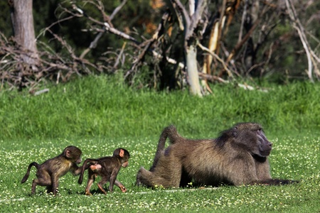 paternal: Adult male chacma baboon with infants playing nearby