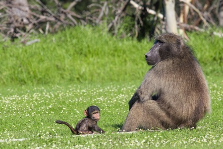 paternal: Adult male chacma baboon watching out over his baby son