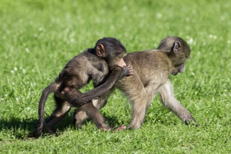 peers: Baby chacma baboons playing rough and tumble in green grass