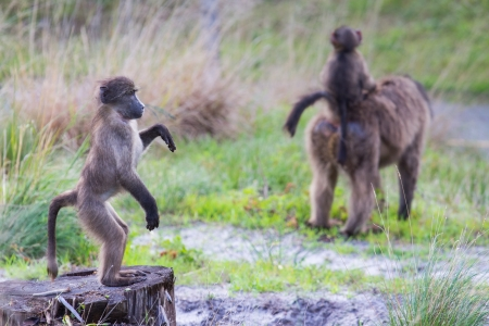 human evolution: Young chacma baboon standing upright gazing into distance