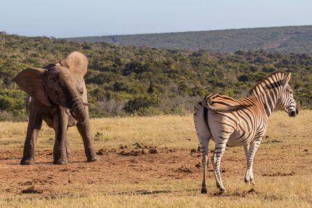 encounters: Elephant calf encounters zebra