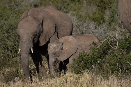 Elephant mother and her calf in African bush Stock Photo