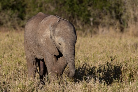 cuteness: Wild baby African elephant