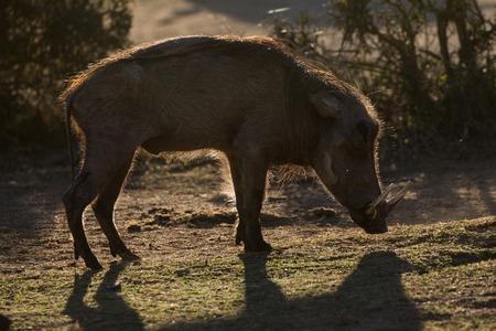 Warthog in evening light