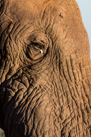 Face of African elephant Banco de Imagens - 71983064