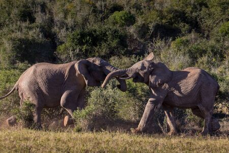 Two adolescent elephant bulls sparring