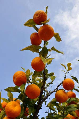 florida citrus: Portugal garden landscape nature orange fruit bushes