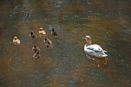 offsprings: Portugal park with a lake swim in Lisbon Family of ducklings Stock Photo