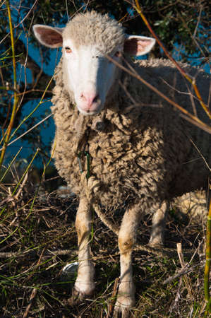 bovidae: Landscape in the meadow graze sheep in Portugal