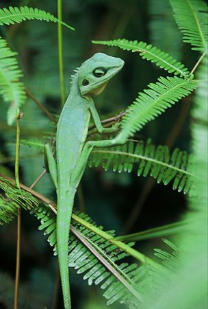 Chameleon Lizard in green camouflage, sitting on green fern fronds Stock Photo